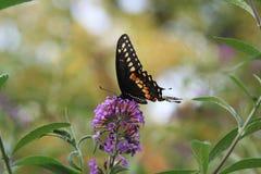 哺养在紫色开花的一只黑Swallowtail蝴蝶 免版税库存图片