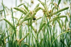 哺养在绿色云豆植物的臭虫 图库摄影