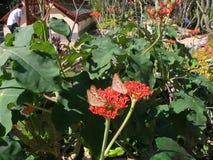 哺养在花树汁的两只蝴蝶在里约热内卢植物园里  免版税库存照片