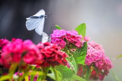 哺养在花的两只蝴蝶 库存照片