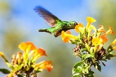 哺养在花的西部鲜绿色蜂鸟 免版税库存照片