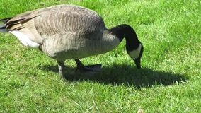 哺养在草的加拿大鹅在史丹利公园 影视素材