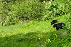 哺养在蒲公英的黑熊 免版税图库摄影