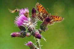 哺养在蓟Cirsium Vulgare的Melitae蝴蝶 免版税库存图片