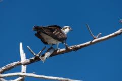哺养在被捕食的海鳟的被栖息的白鹭的羽毛 免版税图库摄影