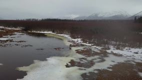 哺养在阿拉斯加的沼泽地的幽静麋 股票视频