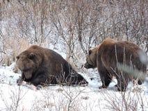 哺养在阿拉斯加的熊 免版税图库摄影