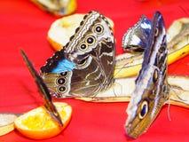哺养在饲养者的切的果子的多只蝴蝶 免版税库存照片