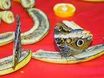 哺养在饲养者的切的果子的多只蝴蝶 库存照片