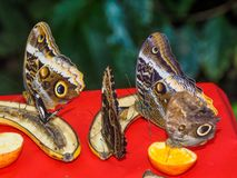 哺养在饲养者的切的果子的多只蝴蝶 免版税库存图片