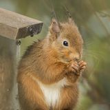哺养在饲养者的红松鼠 免版税图库摄影