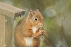 哺养在饲养者的红松鼠 库存照片