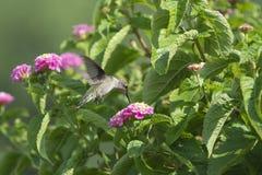 哺养在马樱丹属花的红宝石红喉刺莺的蜂鸟 免版税库存图片