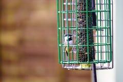 哺养在鸟饲养者的小的山雀 免版税图库摄影