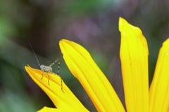 哺养在黄色瓣的庭院katydid 库存图片