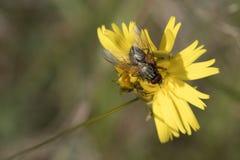 哺养在黄色花的翱翔飞行 免版税库存图片