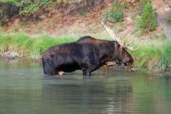 哺养在Fishercap湖附近岸许多的冰川国家公园的冰川地区Shiras公牛麋在蒙大拿U 库存照片