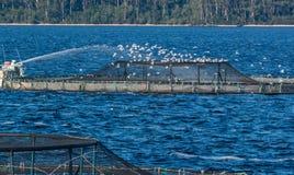 哺养在Mcquarie港口的三文鱼农场 库存图片