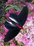 哺养在Sedum的蝙蝠翼战斗机蝴蝶 库存照片