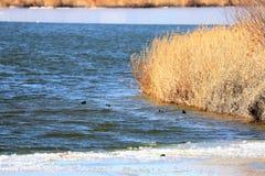 哺养在Siilent湖,BaiTong堡垒的欧亚老傻瓜 免版税图库摄影