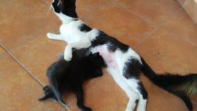 哺养她新出生的小的全部赌注的猫母亲 股票视频