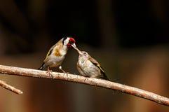 哺养它的雏鸟的欧洲金翅雀 免版税图库摄影