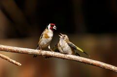 哺养它的雏鸟的欧洲金翅雀 库存照片