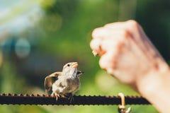 哺养年轻小鸡,鸟黄色钩形的麻雀 免版税图库摄影