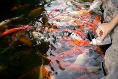 哺养用牛奶的鲤鱼在鱼池 免版税库存图片