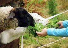 哺养由孩子的山羊和绵羊 库存照片