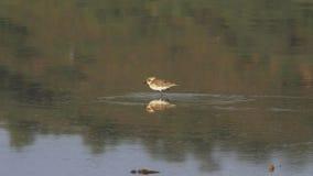 哺养的一点限制,一只小趟水者鸟,在湖bogoria 影视素材