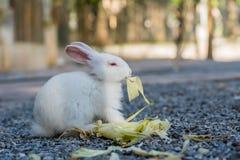 哺养的兔子在庭院里 库存图片