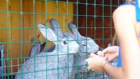 哺养的兔子 小女孩哺养的农场与欧洲亚麻籽车前的家兔生叶 影视素材