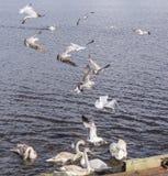 哺养的在飞行中鸥和天鹅苏格兰 库存照片