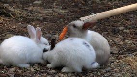 哺养的小兔子穴兔用红萝卜 股票录像