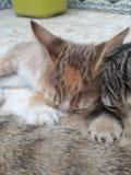哺养的新出生的小猫 免版税图库摄影