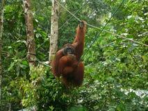 哺养的猩猩在Semenggoh野生生物中心,婆罗洲,马来西亚 免版税库存照片