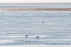 哺养的长嘴上弯的长脚鸟在沼泽地 免版税库存图片