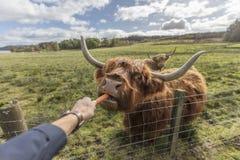 哺养的高地母牛 免版税库存照片