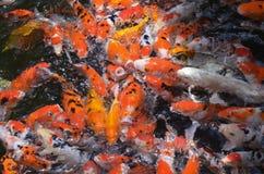 哺养的鲤鱼/koi在池塘/水池钓鱼 免版税库存图片