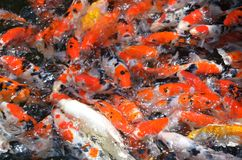 哺养的鲤鱼/koi在池塘/水池钓鱼 免版税图库摄影