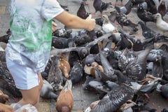 哺养的鸽子从儿童` s手的种子 免版税图库摄影