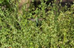 哺养里面红色花的蜂鸟 免版税图库摄影