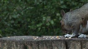 哺养鸟桌的灰鼠在英国然后调查照相机 股票录像