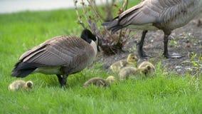 哺养4K UHD的加拿大鹅和幼鹅 影视素材