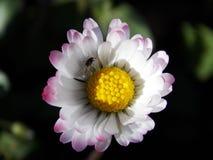 哺育在专辑的昆虫上色了太阳花 库存照片