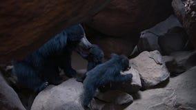 哺育她的崽的母亲黑熊 影视素材