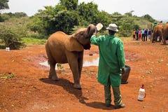 哺养从一个瓶的婴孩大象牛奶 库存照片