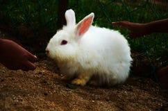 哺养一只白色兔子的人们 免版税图库摄影