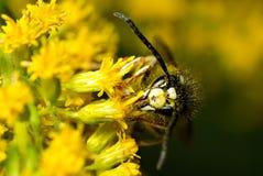 哺养从一朵黄色花的一个赤裸裸的大黄蜂 免版税图库摄影